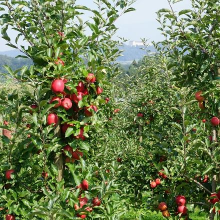 Die Apfelbäume hinter dem Haus - mit Blick auf Schloss Heiligenberg
